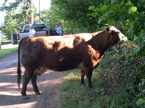 cow16