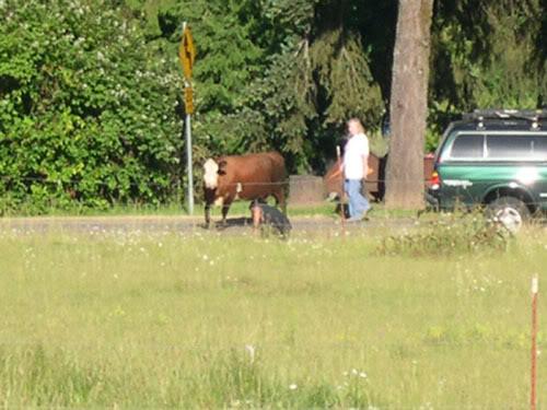 cow30