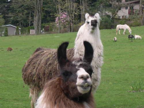 Llama Boyz
