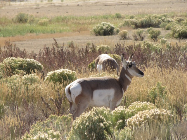 Pronghorn Antelope just inside the Roosevelt Arch