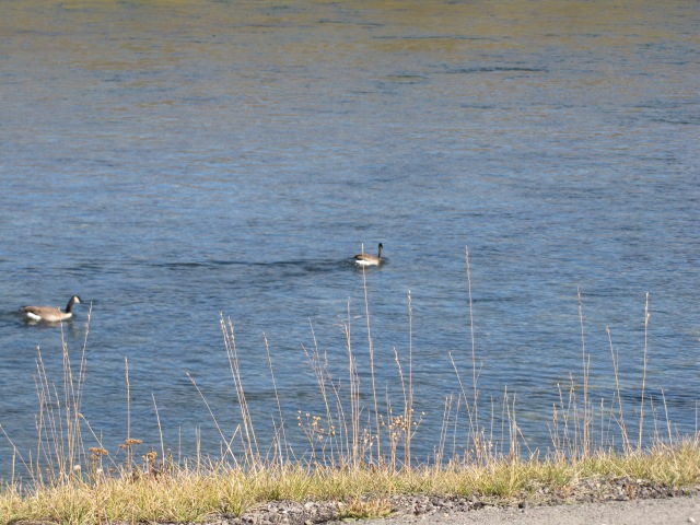 Canada Geese on Yellowstone River near Trout Creek