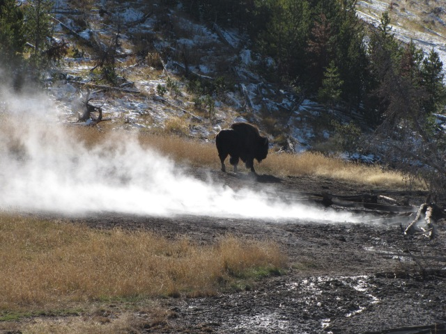 Buffalo in the steam