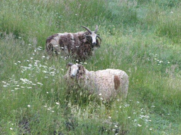 Sheepindagrass2