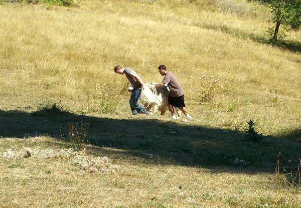 Shearing6a
