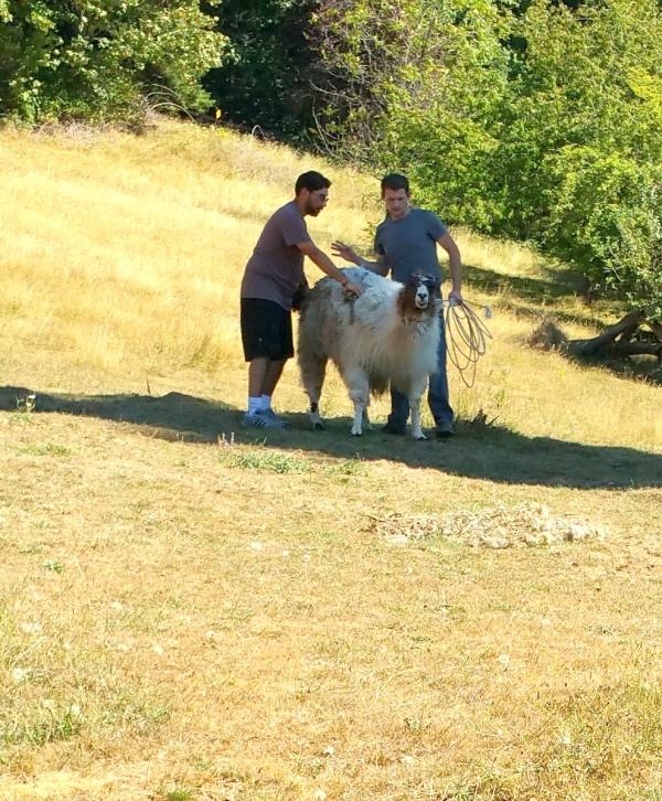 Shearing8a