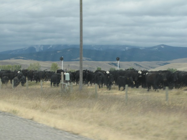 Montana cattle drive south of Drummond and near Route 271 turn-off